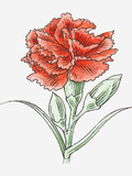 Illustration of a Red Carnation Photographic Print by Dorling Kindersley