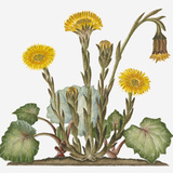 Illustration of Tussilago Farfara (Coltsfoot) Bearing Yellow Flowers Resembling Dandelions and Buds Photographic Print by Dorling Kindersley