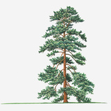 Illustration of Evergreen Pinus Wallichiana (Bhutan Pine, Himalayan Pine) Tree Photographic Print by Sue Oldfield