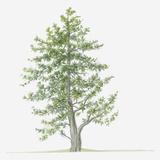 Illustration of Evergreen Juniperus Foetidissima (Stinking Juniper) Tree Photographic Print by Dorling Kindersley