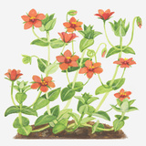 Illustration of Anagallis Arvensis (Scarlet Pimpernel), Red Flowers Photographic Print by Ann Winterbotham