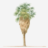 Illustration of Washingtonia Filifera (California Fan Palm) Bearing Leaf Fronds atop Brown Skirt Of Photographic Print by Dorling Kindersley
