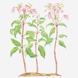 Illustration of Impatiens Grandiflora (Himalayan Balsam), Wildflowers Photographic Print by Tricia Newell