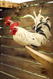 Kelso Roosters Perched in a Backyard Coop. Photographic Print by Pete Starman