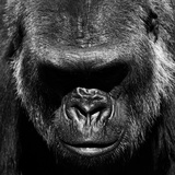 Gorilla Photographic Print by VAILLANCOURT PHOTOGRAPHY