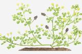 Illustration of Medicago Lupulina (Black Medick), Flowers and Fruit-Pods Photographic Print by Dorling Kindersley