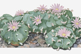 Illustration of Lophophora Williamsii (Peyote) Cactus Woth Pink Flowers Photographic Print by Dorling Kindersley