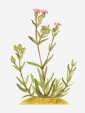 Illustration of Silene Conica (Sand Catchfly), Wildflowers Photographic Print by Dorling Kindersley