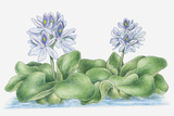Illustration of Eichhornia Crassipes (Water Hyacinth) with Hermaphrodite Lavender Flowers Rising Ab Photographic Print by Debra Woodward