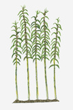 Illustration of Sesamum Indicum (Sesame) Bearing Lanceolate Leaves on Tall Stems Photographic Print by Dorling Kindersley