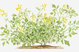 Illustration of Pseudofumaria Lutea (Yellow Cordialis), Wildflowers Photographic Print by Dorling Kindersley