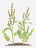 Illustration of Rumex Crispus (Curled Dock), Leaves and Flowers Photographic Print by Dorling Kindersley