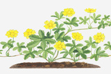 Illustration of Potentilla Reptans (Creeping Cinquefoil), Leaves and Yellow Flowers on Branching St Photographic Print by Dorling Kindersley