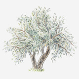 Illustration of an Olive Tree Photographic Print by Dorling Kindersley