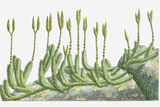 Illustration of Lycopodium Clavatum (Wolf's-Foot Clubmoss, Stag's-Horn Clubmoss) with Upright Stems Photographic Print by Dorling Kindersley