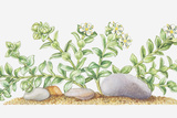 Illustration of Honkenya Peploides (Sea Sandwort), Wildflowers Photographic Print by Elizabeth Rice