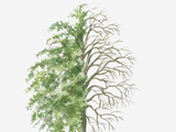 Dorling Kindersley - Illustration Showing Shape of Pyrus Nivalis (Snow Pear) Tree, with Green Summer Foliage and Bare Wi Fotografická reprodukce