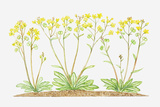 Illustration of Biscutella Laevigata (Buckler Mustard), Yellow Flowers Photographic Print by Dorling Kindersley