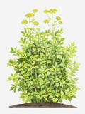 Illustration of Levisticum Officinale (Lovage), Foliage and Yellow Flowers Photographic Print by Dorling Kindersley