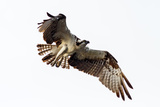 Osprey Flight Reproduction photographique par Joaquin Paredes