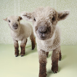 Two Lambs Indoors with Floral Wallpaper Photographic Print by Digital Vision.