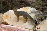 Gray Fox, Red Rock Canyon, Nevada Photographic Print by James Marvin Phelps