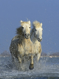 Camargue Horses Photographic Print by David Tipling
