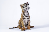 Tiger Cub (Panthera Tigris) Looking Up, against White Background Photographic Print by Martin Harvey