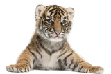 Sumatran Tiger Cub - Panthera Tigris Sumatrae Photographic Print by Life on White