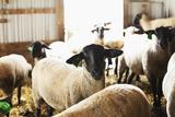 Usa, Illinois, Metamora, Sheep in Barn Photographic Print by Sarah M. Golonka