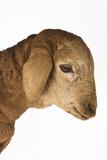 Domestic Lamb. Photographic Print by Martin Harvey