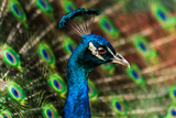 Male Peacock Photographic Print by Keith R. Allen