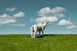 Lamb on the Meadow under Fleecy Clouds Photographic Print by Dejan Patic