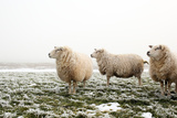 Three Sheep in Winter Photographic Print by  MarcelTB