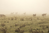 Sheep Viewed on a Misty Morning Photographic Print by Travelpix Ltd