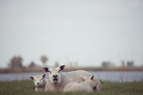 Bellowing Sheep Photographic Print by Ineke Kamps