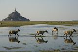 Breeding Sheep Salt Marsh in the Bay of Mont-Saint Photographic Print by Thierry Pix