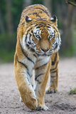Walking Tigress Photographic Print by Picture by Tambako the Jaguar