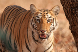 Royal Bengal Tigress Photographic Print by Nishant Shah