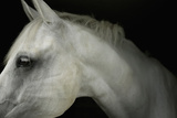 Profile of Horse Photographic Print by Ann Cutting