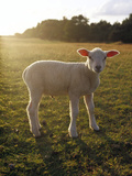 A Lamb at the Setting of the Sun Sweden. Photographic Print by Elliot Elliot