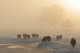 Livestock Grazing on Foggy Winter's Day Photographic Print by Jonny Hirons Photography