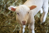 Baby Lamb Photographic Print by Lucidio Studio Inc