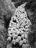 Sheep on Path, Elevated View (B&W) Photographic Print by Hulton Archive