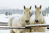 Two White Percheron Horses in Snow Photographic Print by Photography By Teri A. Virbickis