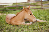 Usa, Utah, Lehi, Foal Lying on Grass Photographic Print by Mike Kemp