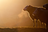 Sheeps Breath Photographic Print by Peter Chadwick LRPS