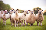 Show Sheep Photographic Print by Olivia Bell Photography