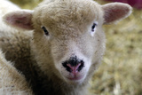 Baby Lamb Portrait Photographic Print by John Churchman