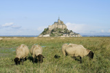Sheep Grazing in Mont-St-Michel, Normandy, France Photographic Print by Junko Chiba